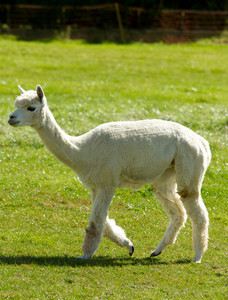 Profile view of Alpaca like llama