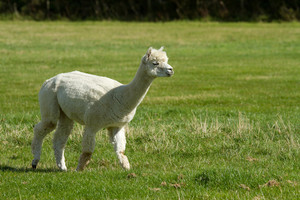 White Alpaca like llama walking in a green field