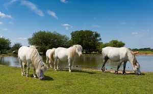 White ponies by lake on a beautiful sunny summer day New Forest England UK