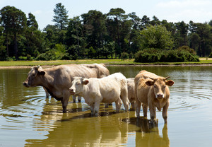 Cows standing in water at a lake