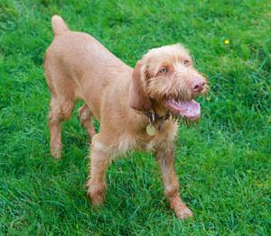 Vizsla dog standing in a field of green grass