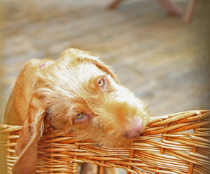 Vizsla dog with his basket