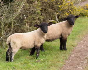 Two sheep with black face and legs