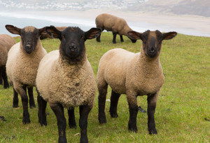 Group of sheep with black face and legs looking to camera