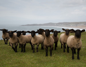 Herd of sheep with black face and legs looking directly to camera