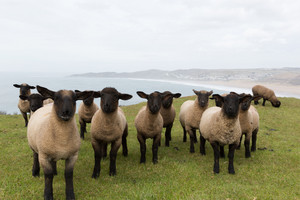 Group of sheep with black face and legs staring at the camera