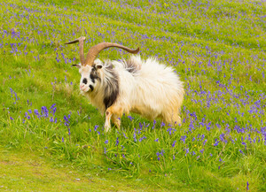 Goat in bluebells British Primitive breed feral with large horns and beard white grey and black