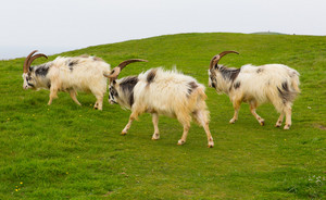 Group of British Primitive goats on a hillside