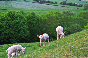 Lambs on a hillside