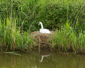 Mother swan on nest by reeds on a river bank