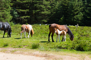 Ponies at Soussons Cairn Circle Dartmoor Devon in the National Park a Bronze Age relic and tourist attraction