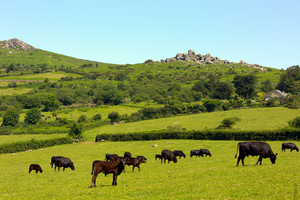 Herd of cows Dartmoor  Devon England