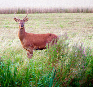 Wild red stag deer with horns