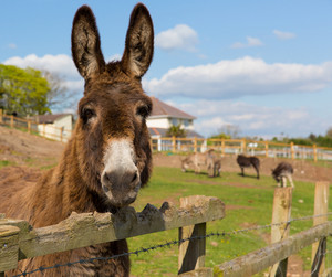Donkey standing by a fence in a field with blue sky on spring day
