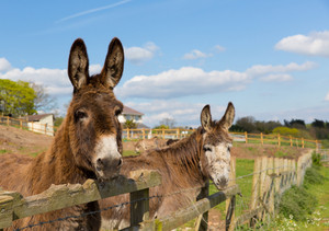 Two donkeys standing by a fence in a field with blue sky on spring day