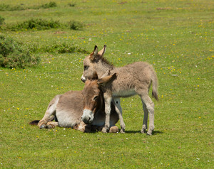 Mother and baby donkey cuddling