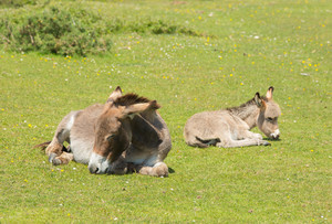 Mother and baby donkey resting lying down