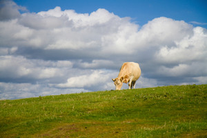 Cow grazing on the top of a hill with blue sky