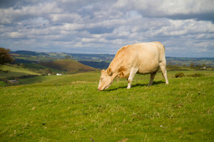 Cow grazing in green field English countryside