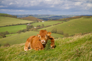 Big brown cow lying in a field and grazing in the countryside