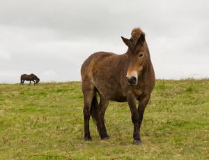 Wild Exmoor pony Quantock Hills Somerset England UK