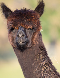 Chocolate brown haired Alpaca from South America like llama