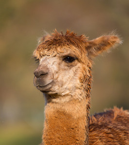 Brown haired Alpaca face and neck originally from South America like llama
