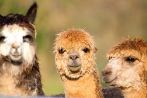 Beautiful Alpacas from South America like llama