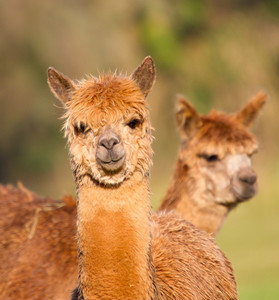 Beautiful brown haired Alpacas from South America like llama