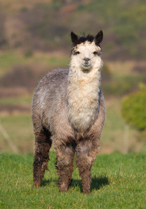 Male Alpaca from South America looking to camera