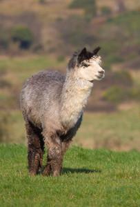 Male Alpaca from South America and like a llama