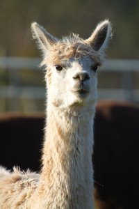 Alpaca animal with long neck and ears pricked up