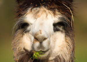 Alpaca chewing grass with straw in his hair