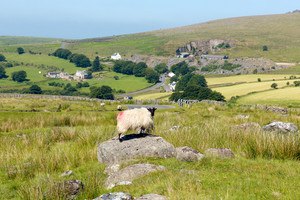 Sheep on a rock Dartmoor National Park Devon England UK