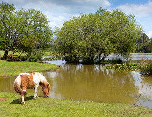 New Forest pony Janes Moor lake New Forest Hampshire England UK popular tourist location