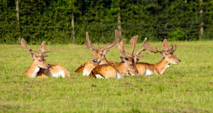 Herd of red deer lying down in a field the New Forest Hampshire England