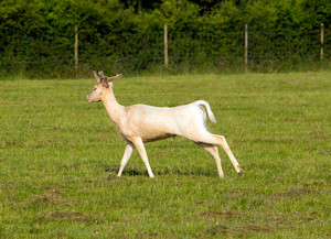 White albino deer running in a field