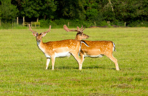 Deer in the New Forest Hampshire England uk