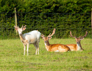 White deer with red deer with antlers