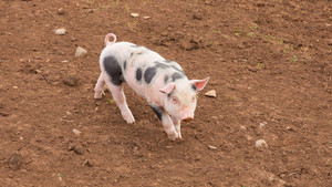 Young piglet with black spots