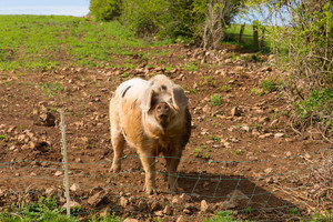 Big pig in a field