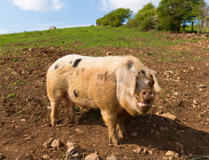 Big pig in a field with black spots