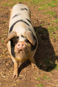 Spotted pig with black spots portrait