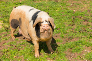 Spotted pig with black spots
