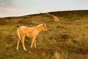 Wild pony foal dun cream colour