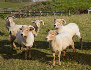 Group of Portland sheep rare breed from Isle of Portland Dorset England UK