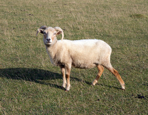 Portland sheep rare breed from Isle of Portland Dorset England UK