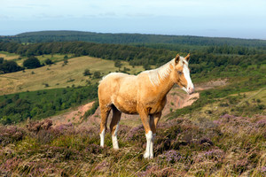Dun cream colour wild pony Quantock Hills Somerset England uk