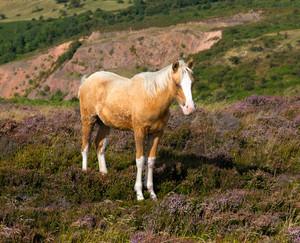 Dun cream colour wild pony