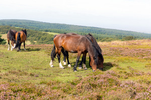 Two ponies grazing on Quantock Hills Somerset England with purple heather